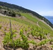 yachts_croatia_antropoti_Bol_vineyards